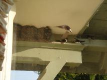 Much Activity at the House Martin Nests