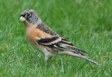 Brambling, Brecon, 25.1.08