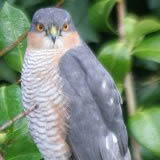 Sparrowhawk, Brecon, 5.2.08