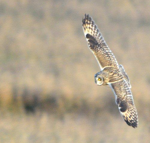 Bob Griffiths - Short-eared Owl